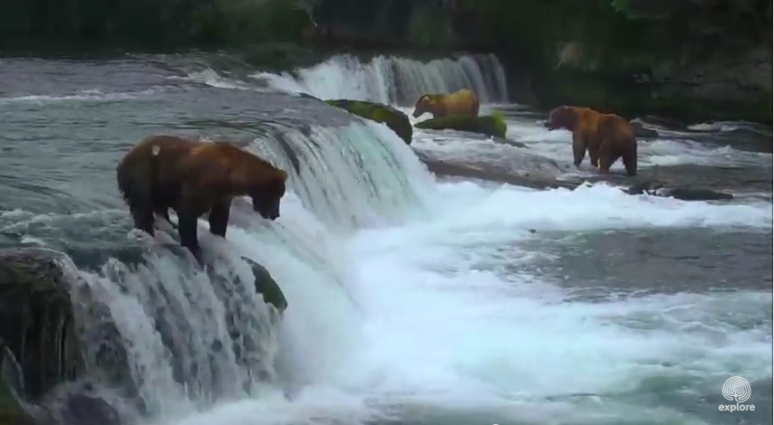 Bears fighting over a fish