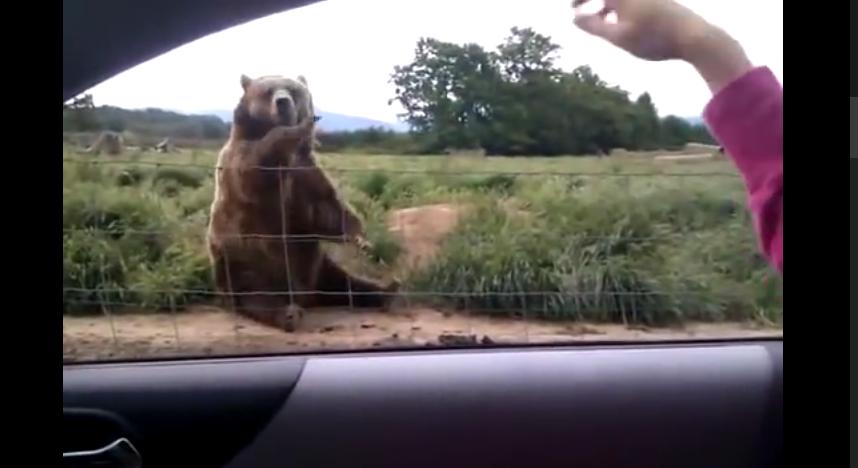 Waving bear
